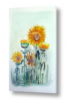 פרחים חמניה | חמניות בשדה