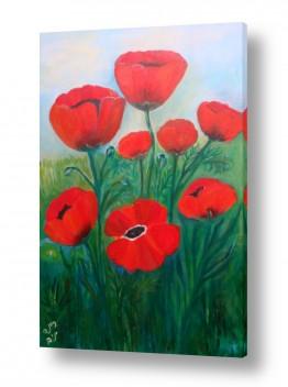 פרחים פרגים | כלניות ופרגים