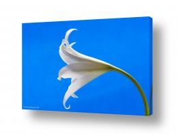 צמחים פרחים | כחול ולבן