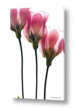 צמחים פרחים | צבעוני