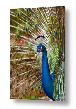תמונות לפי נושאים טווסים | שלל צבעים