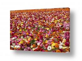 פרחים נורית | שלל נוריות