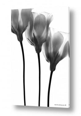 צמחים פרחים | שלישיה שחור לבן