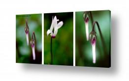 פרחים רקפת | Triptych3