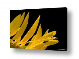 פרחים חמניה | צהוב ושחור
