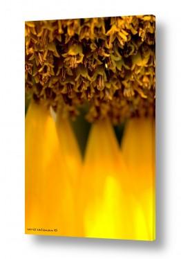 פרחים חמניה | שמש צהובה