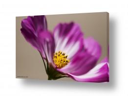 צומח פרחים | אש סגולה