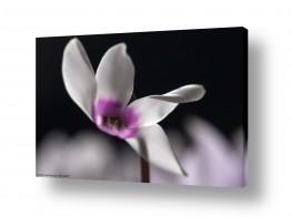 פרחים רקפת | רקפת 2