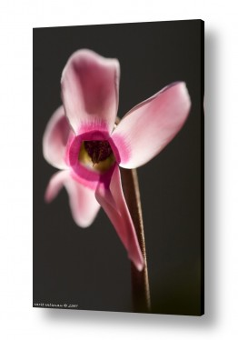 פרחים רקפת | מיוחדת