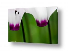 פרחים רקפת | זוג