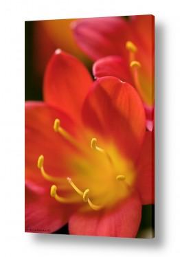 צומח פרחים | עדין