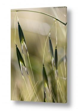 תמונות נופים נוף שדות | שיבולים מרקדים