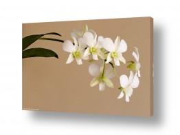 פרחים סחלב | סחלבים לבנים