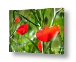 פרחים כלנית | אביב נעורים
