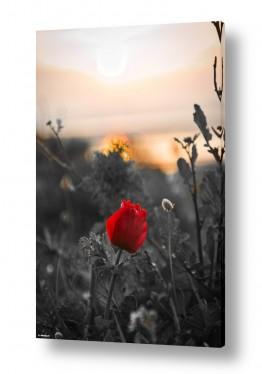 פרחים כלנית | אדום