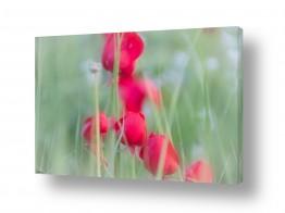 פרחים פרגים   אדום