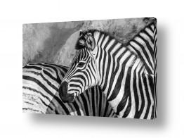 יונקים זברה | זברות שחור לבן