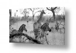 יונקים זברה | אחווה באפריקה