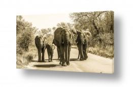 תמונות לחדר נוער | פילים בכביש