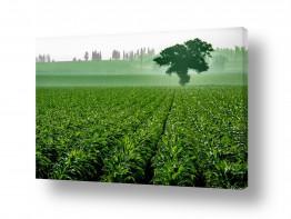 תמונות לפי נושאים טיול | עץ בשדה תירס