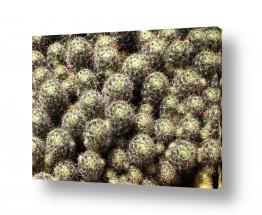 צמחים צבר | קקטוסים