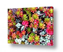 צמחים צבר | צבעוני