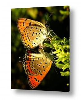 חרקים פרפר   אהבה המשתקפת בכתום