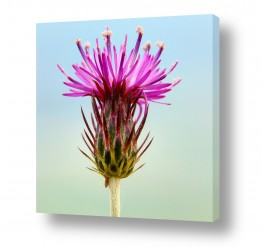 פרחים אבקנים | פריחה וורודה