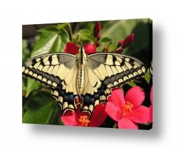 חרקים פרפר | יופי הטבע