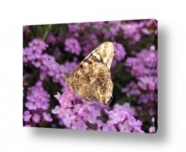 חרקים פרפר | פרקטל בפרפר