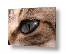 חיות מחמד חתול | כחול בעיניים