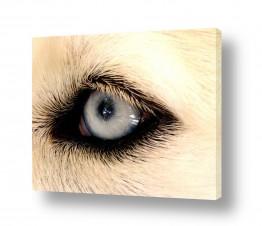 חיות מחמד כלבים | תכול בעיניים