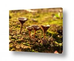 צמחים פטריה | ארבעת המוסקטרים