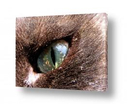 חיות מחמד חתול | עין חדה