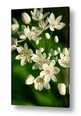 צילומים שוש אבן | פרחים לבנים