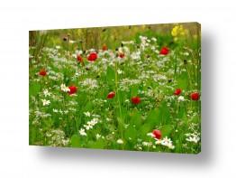 פרחים כלנית | פריחה ישראלית