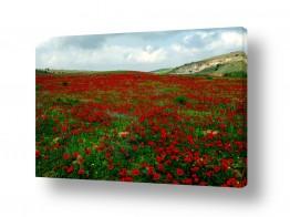 פרחים כלנית | שטיח אדום