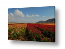 פרחים נורית | פריחה בצבעי הקשת