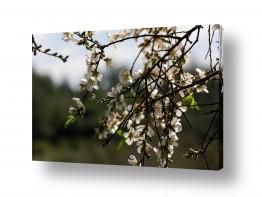 תמונות לפי נושאים לבנה | פריחה לבנה