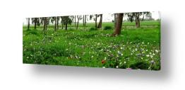 פרחים כלנית | שלל צבעים