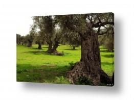 צילומים שוש אבן | עצים עתיקים