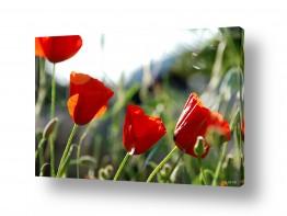פרחים פרגים   פרגים