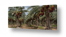 כפרי קיבוץ וכפר | עצי תמר