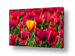 צומח פרחים | צבעונים