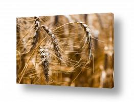 שדות שדות חיטה | שיפון