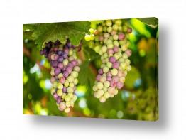 צמחים כרמים | אשכול ענבים