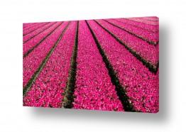 צומח פרחים | פריחת הצבעונים בהולנד
