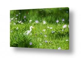 פרחים כלנית   אנפה בין הכלניות