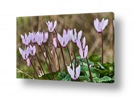 צמחים פרחים | רקפות