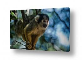 תמונות לפי נושאים חיות | קוף סנאי (Saimiri)